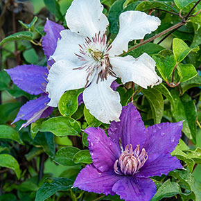 Clematis Kitty<sup>™</sup>