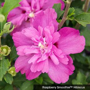 Double Hardy Hibiscus Sampler