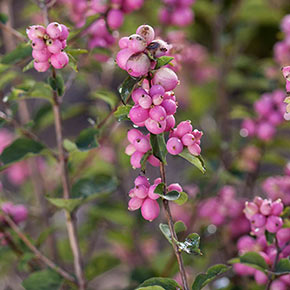 Candy™ Coralberry