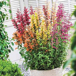 Nectar Hummingbird Mint Mixture