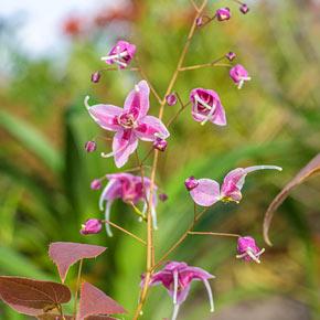 Pretty in Pink Epimedium