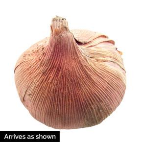 Waris Gladiolus