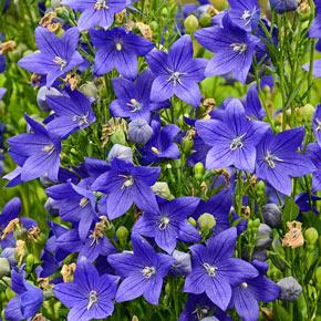 Fuji Blue Balloon Flower