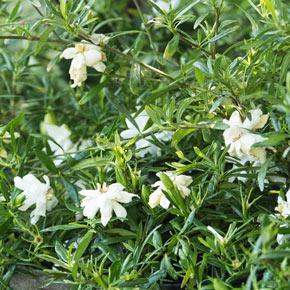 Fragrant Pathways Gardenia