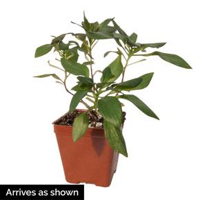 Inca Ice™ Peruvian Lily