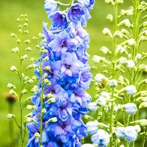 Blue Lace Delphinium