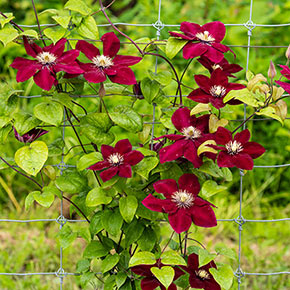 Clematis Charmaine™