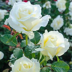 White Licorice<sup>™</sup> Floribunda Rose