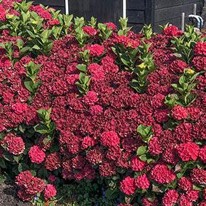 Everlasting<sup>®</sup> Crimson Hydrangea