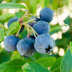Blueberry Northcountry