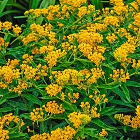 Hello Yellow Milkweed