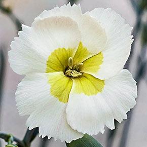 Key Lime Pie Dianthus