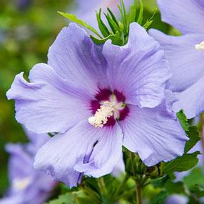 Hawaii™ Hibiscus