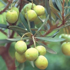 Mediterranean Olive Tree
