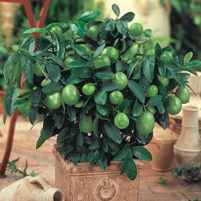 Key Lime Tree Plants