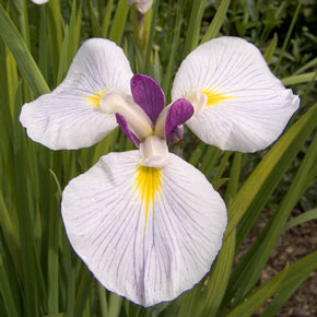 Fortune Japanese Iris