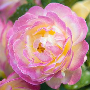 Life Of The Party™ Floribunda Rose