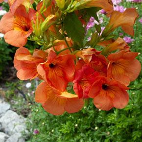 Grandiflora Trumpet Vine