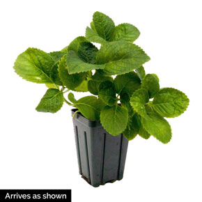 Forever & Ever<sup>®</sup> Peppermint Hydrangea