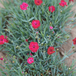 Mountain Frost™ Red Garnet Dianthus