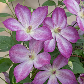 Clematis Pernille