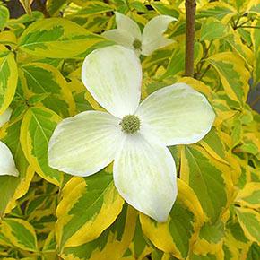 Summer Gold Flowering Dogwood Tree