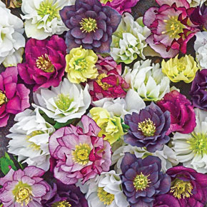 Wedding Party™ Double Lenten Rose Mix
