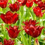 Pacific Pearl Tulip
