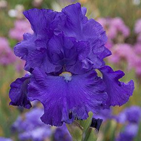 Blue Suede Shoes Reblooming German Iris