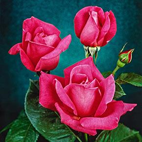Miss All-American Beauty Hybrid Tea Jumbo Rose
