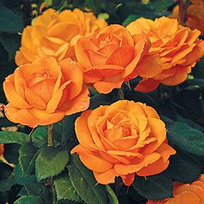Good as Gold™ Hybrid Tea Rose