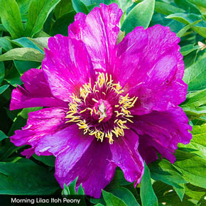 ITOH Peony Collection