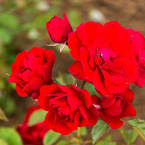 Showbiz Rose