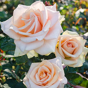 Orange Jumbo Rose Sampler
