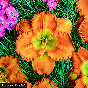 Classic Reblooming Daylily Collection