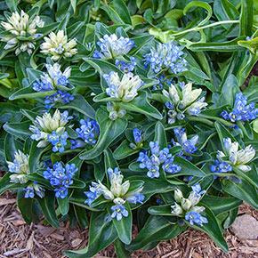 Blue Cross Gentian