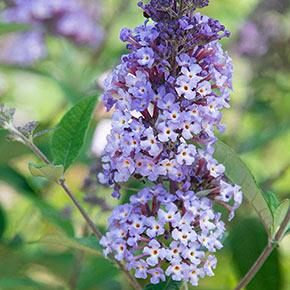 Summer of Love Buddleia