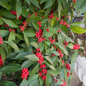 Winter Red Winterberry Shrub