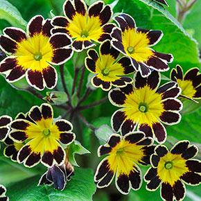 Bumble Bee Primrose