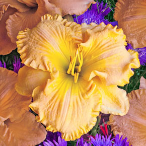 Collier Daylily