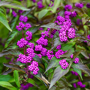 Early Amethyst Japanese Beautyberry