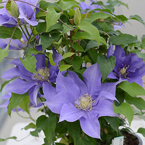 Clematis Olympia™