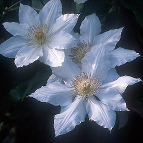 Clematis Hyde Hall™