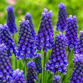 Blue Magic Grape Hyacinth