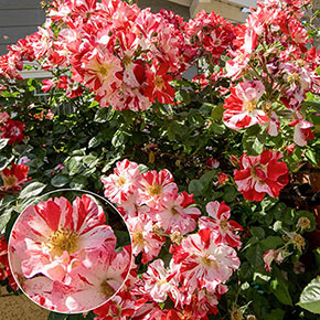 Fourth of July® Climbing Rose