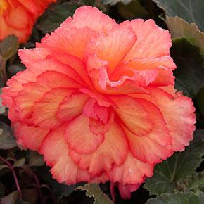 Illumination<sup>®</sup> Golden Picotee Begonia