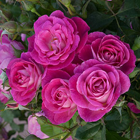Easy to Please™ Tree Rose