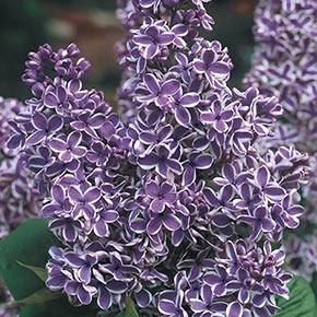 Sensation Lilac Shrub