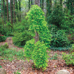 Ryusen Japanese Maple