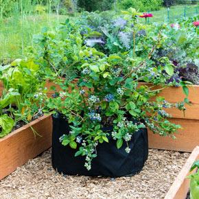 Ka-Bluey<sup>®</sup> Blueberry